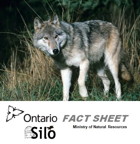 Safe Living With Urban And Rural Coyotes