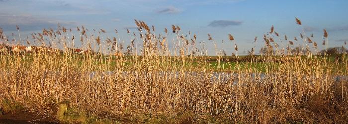 Grand River Conservation effort targets phragmites- invasive reeds via Roundup
