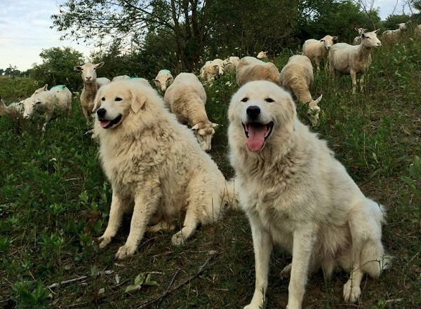 Sheep Dogs in Norfolk County