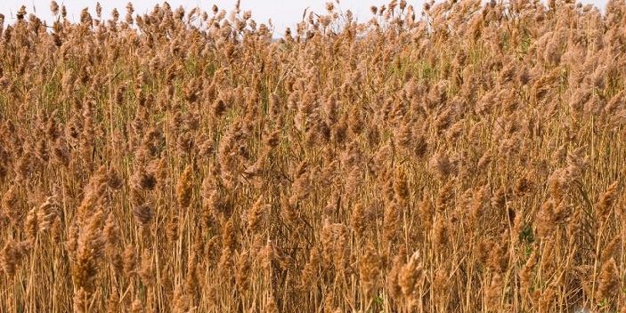 When Are We Going to Get Serious About Invasive Species- Phragmites?