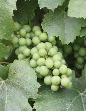 French Champagne Grapes