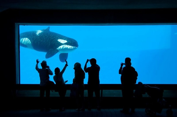 "40+ yr old Orca ""Kiska"" has been in solitary confinement since 2011."