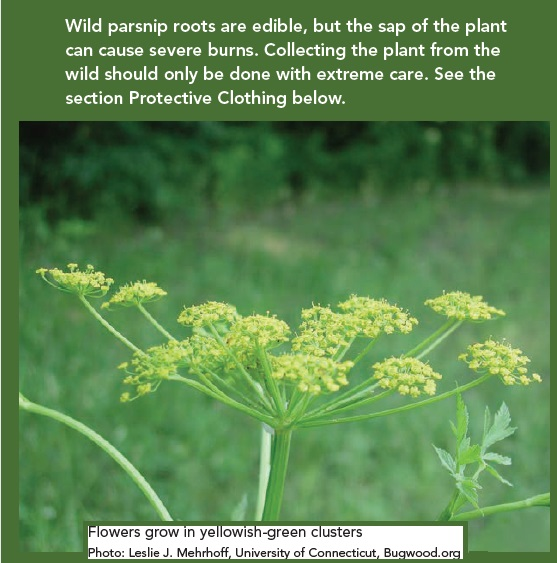 Toxic Wild Parsnip Invasive Species S/W Ontario and beyond