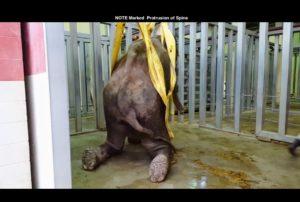 1-oklahoma-city-zoo_chai-on-hoist_credit-public-record-via